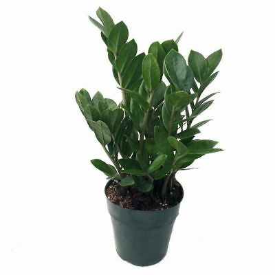 Rare ZZ Zamioculcas Zamiifolia Live Plant Easy to Grow HousePlant Indoor