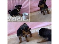 Miniature Chihuahua Cross Jack Russell For Sale