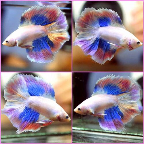 Live Betta Fish Fancy DRAGON BLUE PINK PURPLE Double Tail DT Male #A491