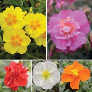 Pack x6 Helianthemum 'Mixed Collection' (Rock Rose) Perennial Garden Plug Plants