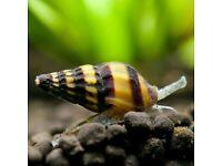 Assassi snail