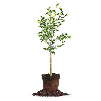 Hood Pear Tree  Live Plant  Size  3 4 Ft
