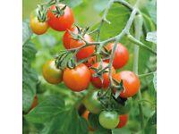 'Losetto' F1 tomato plants