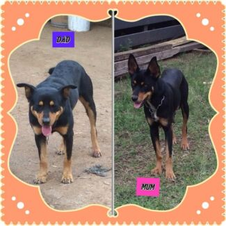 Kelpie Pups Goombungee Toowoomba Surrounds Preview