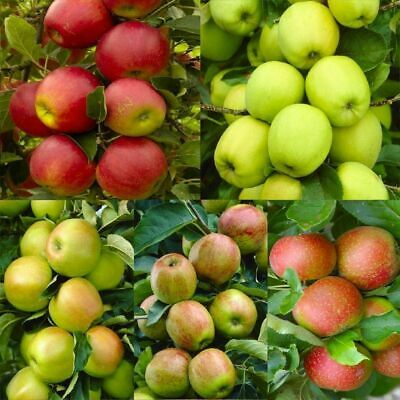 20 Seeds Apple Tree Seeds E32 Mixed Varaieties, Fruit Sweet Delicious US Seller ()