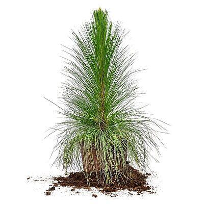 Longleaf Pine Tree, Live Plant, Size: 3