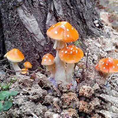 Fairy Garden Figurine Terrarium Resin Mushroom Miniature (Fairy Garden Terrarium)