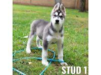 Full Siberian Husky puppies for sale