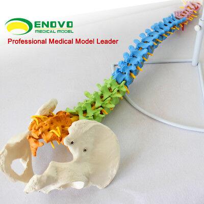 11 Realistic Education Spine Models With Pelvis Anatomical Skeleton Life Sz Lab