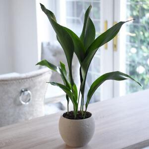 Aspidistra Elatior Indoor Potted House Plant 12cm Pot Cast Iron Plant T&M