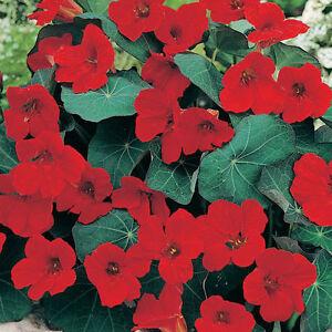 110 graines de capucine rouge fleurs. Black Bedroom Furniture Sets. Home Design Ideas