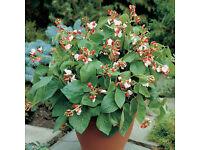 Runner Beans – Hestia Dwarf – 9cm Pots 50p each