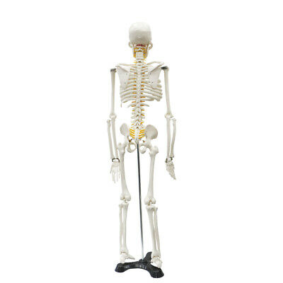 Life Medical Anatomical Human Skeleton Model With Stand For Study 85cm33.46 Us