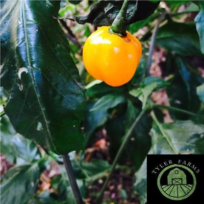 10+ Fireball Habanero Pepper Seeds (rare & exotic chili, chile seeds)  for sale  Encinitas