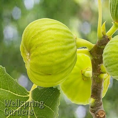 Ficus carica White Marseilles Fig Tree LIVE ...