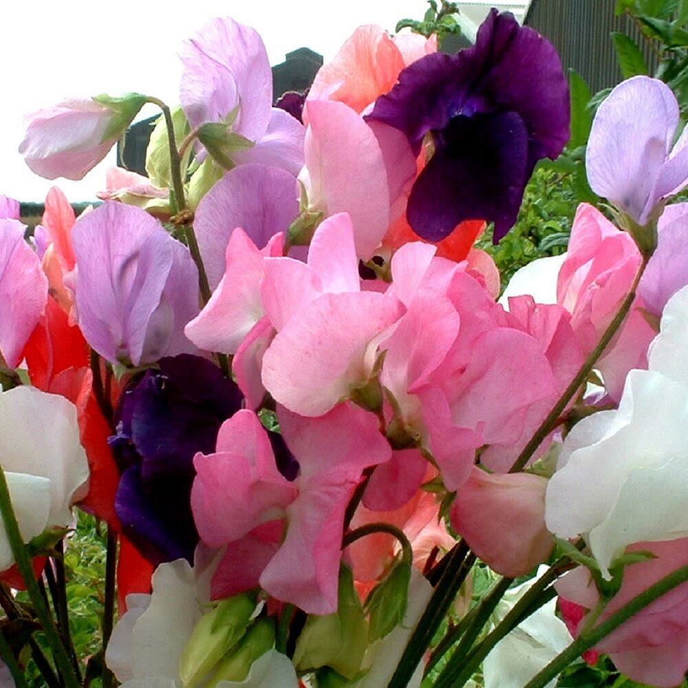 Sweet Pea Mammoth Mixed - Appx 230 seeds