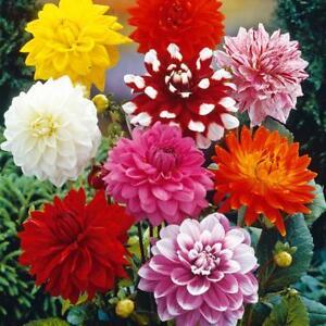 12 Dahlia Decorative Mix Garden Flower Perennial Bulbs Tubers