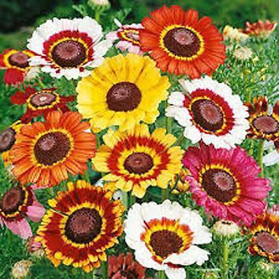 Organic Daisy (Painted Daisy,organic 50+ Seeds, Beautiful Mulit Colored)