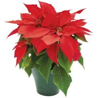 Poinsettias for sale/Flowers for sale