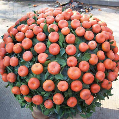 Patio Fruit Tree - 10pcs/pack Balcony Patio Potted Fruit Tree Seeds Kumquat Orange Tangerine Citrus