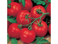 Tomato – Alicante – Tray of 20 seedlings £2.00