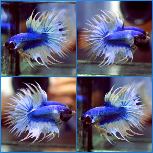 Live Betta Fish SUPER BLUE WHITE TAIL Crowntail CT Male #A485