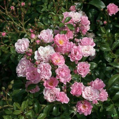 Reichen Boden (10x Bodendeckerrose rosa The Fairy buschig robust reich rosa blühend 20-30 cm)