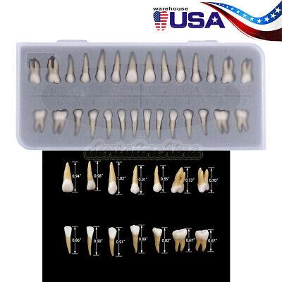 Dental Study Model 11 Permanent Teeth Demonstration 28pcs Tooth Model 7008