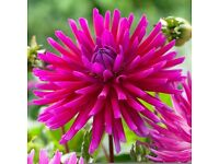3 Dahlia PURPLE GEM Plants In Pots