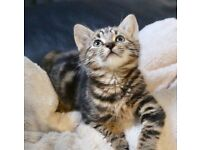 Cute 9 week old kitten wanting a loving home