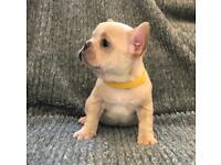 2 x KC Reg Girl French Bulldog Puppies (Quad carriers)- Platiniums, lilac, cream