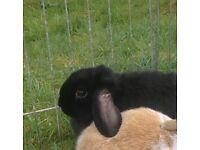 Rabbit 3 months old