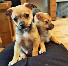 CHIHUAHUA PUPPIES--£400--READY NOW--NEW PHOTOS