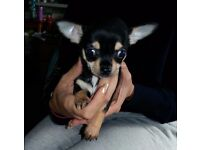 Full pedigree puppies CHIHUAHUA