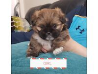 F2 SHIH-CHIHS Crossbreed puppies... Only 2 left..