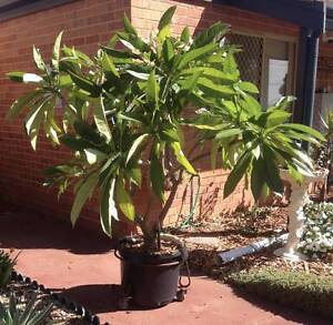 FRANGIPANI TREE -  Over 2m MATURE VERY HEALTHY ! Cottesloe Cottesloe Area Preview