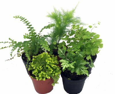 4 Different Live Plants Mini Ferns for Terrariums Fairy Garden 4