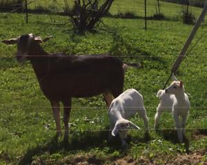 Chèvre, chevrette à vendre