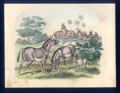Wildesel - Esel - Onager - Tiere - altkolorierte Lithographie 1863