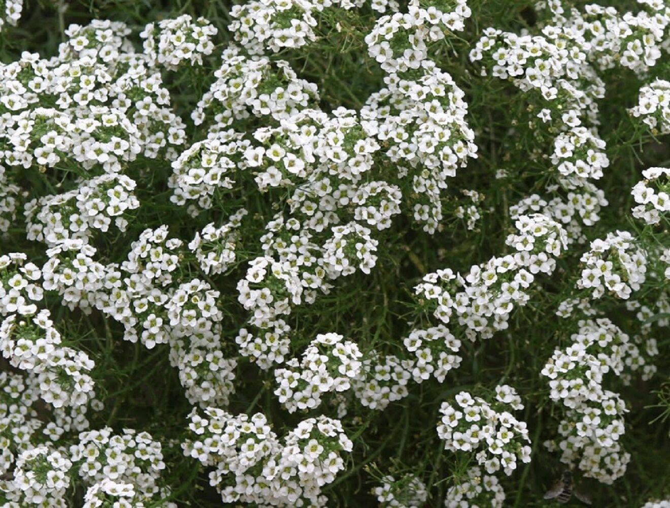 25 grams Alyssum Snowcloth lobularia maritima 57,000 seeds Bulk