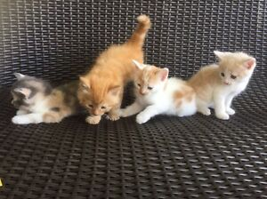 4 kittens for sale Logan Village Logan Area Preview