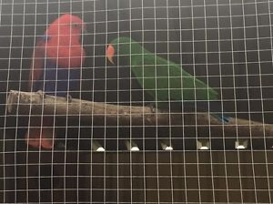 Eclectus Largs Maitland Area Preview