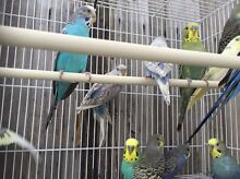 Budgies for sale Narre Warren South Casey Area Preview