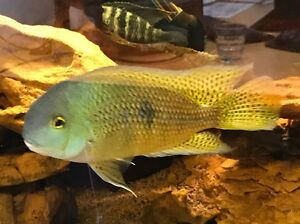 Beautiful American Parrot Cichlid Adelaide CBD Adelaide City Preview