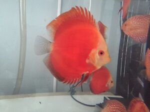 - HIGH PENANG grade CHEN DISCUS tropical fish -August shipment Como South Perth Area Preview