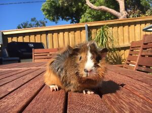 Baby Guinea pigs Manly Manly Area Preview