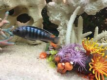 Cichlid Quakers Hill Blacktown Area Preview