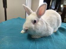 Beautiful Netherland Dwarf Rabbit Bunny BEW Blue eyed white Sunshine West Brimbank Area Preview