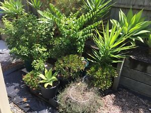 Jasmine Money Plant Thyme Yukka  Agave Lemon Tree selling All Runcorn Brisbane South West Preview