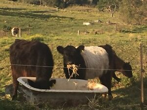 Mini belted Galloway cows with steers at foot Dapto Wollongong Area Preview